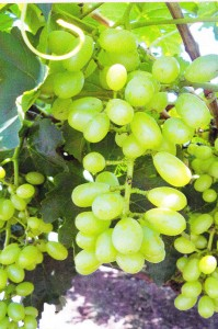 Grapes without GEN200